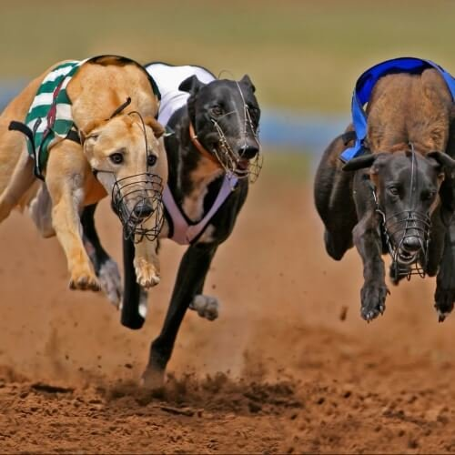 Bournemouth Stag Activities Greyhound Racing