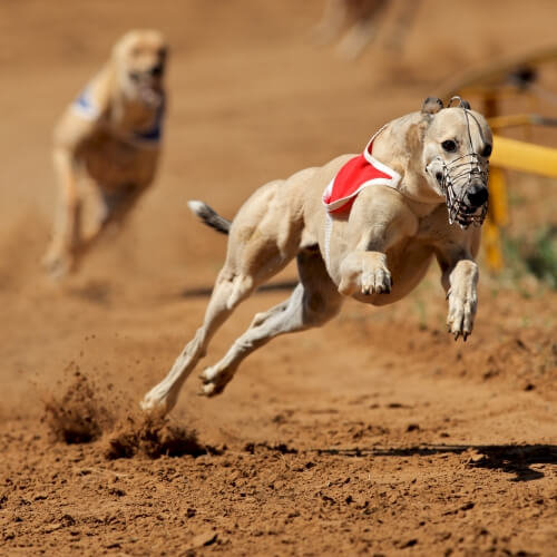 Hen Greyhound Racing Activities